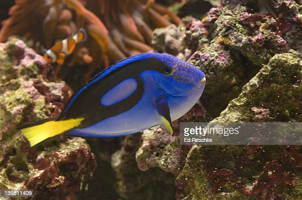 Regal Tang, Paracanthurus hepatus, Mote Aquarium, Sarasota, Florida, USA. Also called the Blue Hippo Tang. Indo-Pacific Oceans.