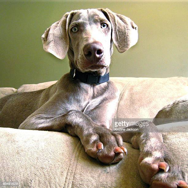 Regal Weimaraner on Couch