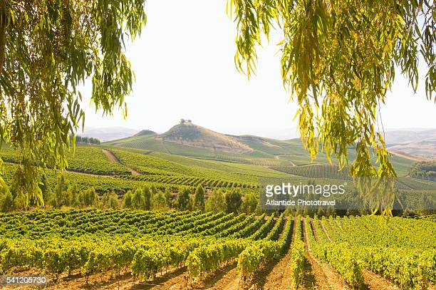 regaleali vineyards - sicily stock pictures, royalty-free photos & images