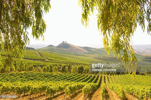 regaleali vineyards - image foto e immagini stock