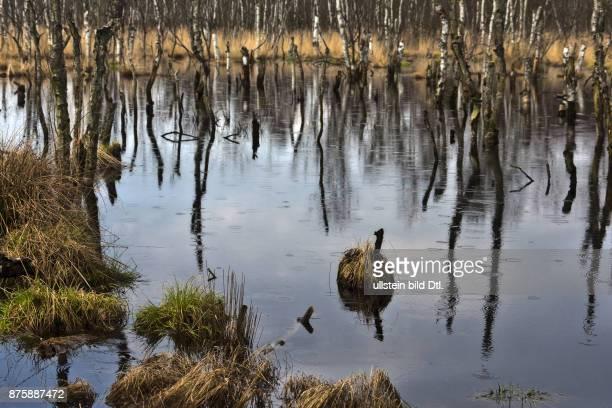Regenwetter im Teufelsmoor Abgestorbene Birken im Moorwasser