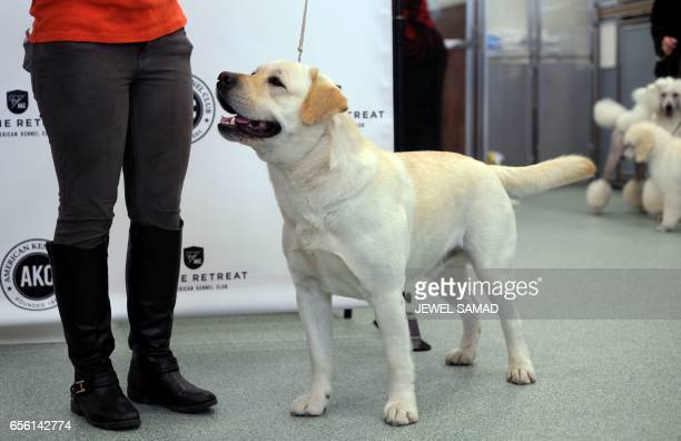 Reggie a Labrador Retriever is pictured during a press conference by the American Kennel Club in New York on March 21 to announce America's top ten...