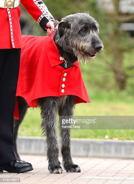 Regimental Mascot Domhnall an Irish Greyhound during the St Patrick's Day parade at Mons Barracks on March 17 2014 in Aldershot England