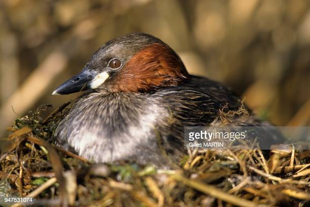 Regional Nature Park of Brenne France little grebe in the nest The grebe pair builds its nest on a platform of floating vegetation preferably reeds...