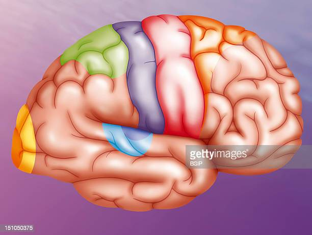 Regions Of The Brain Illustration Showing The Different Regions Of The Brain's Right Hemisphere Yellow Visual Cortex Green Posterior Parietal Cortex...
