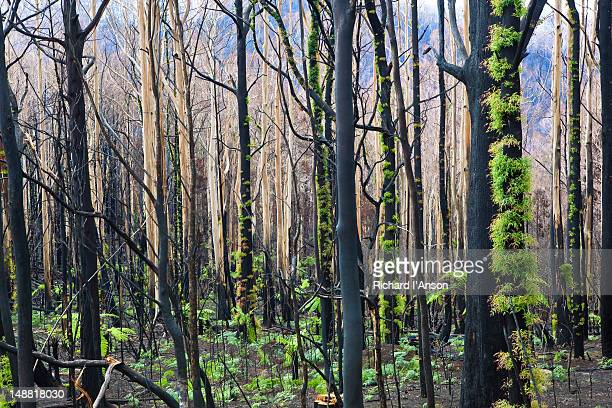 regrowth in forest after bushfire. - australia fire stock pictures, royalty-free photos & images