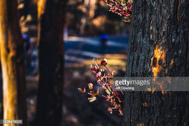 regrowth - australian bushfire stock pictures, royalty-free photos & images