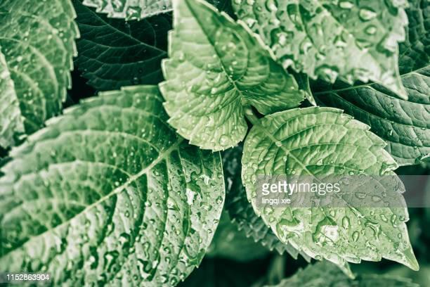 regular arrangement of hydrangea leaves close-up - minze stock-fotos und bilder
