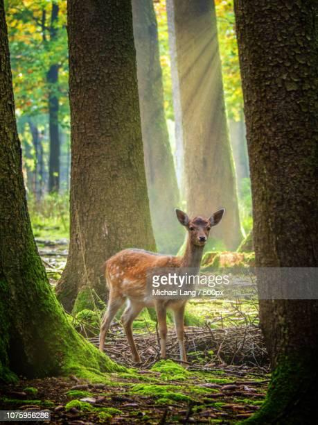reh im sonnenstrahl / deer in the sunbeam - michael reh stock-fotos und bilder