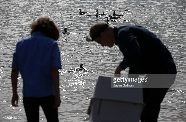 Rehabilitated Common Murres swim in the San Francisco Bay after they were released back into the wild on October 23 2015 in Sausalito California The...