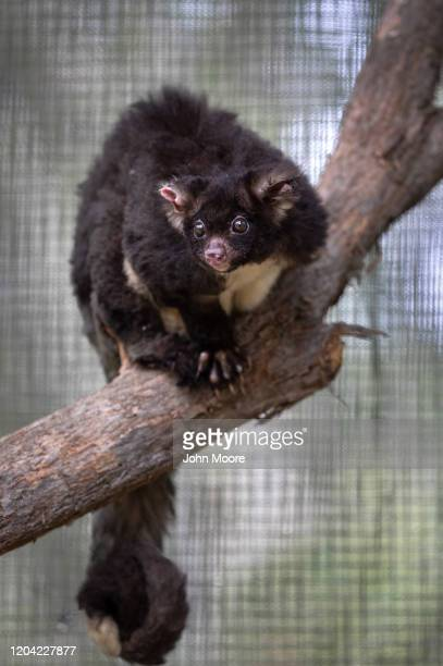 A rehabilitated greater glider possum prepares to be returned to the wild from the Higher Ground Raptor Center on January 28 2020 in Bomaderry...