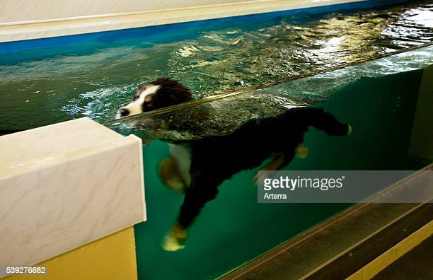 Rehabilitation of Bernese mountain dog in swimming in water practicing canine hydrotherapy after injury