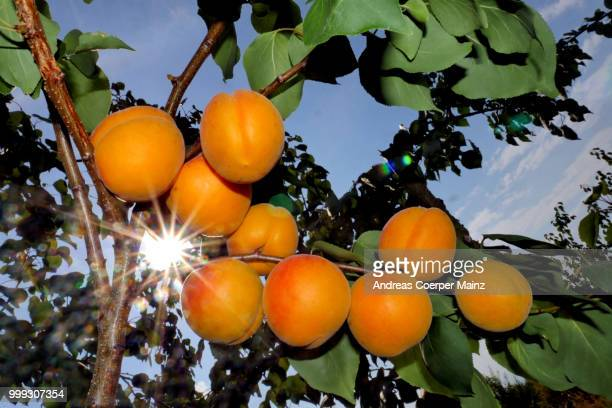 reife aprikosen am ast im gegenlicht - apricot tree stock pictures, royalty-free photos & images