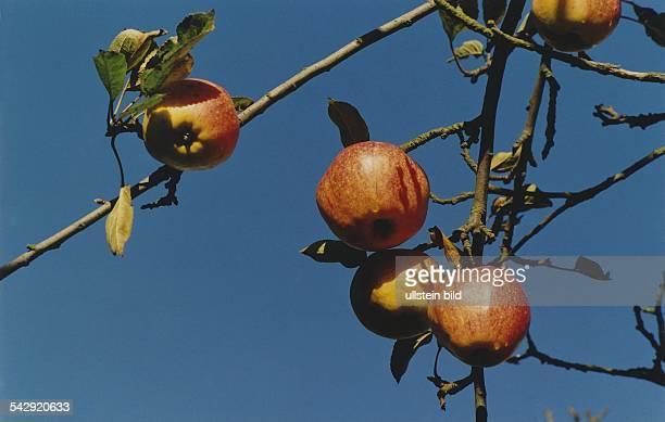 Reife Äpfel der Sorte Finkenwerder Herbstprinz am Ast eines Apfelbaumes Diese Sorte zeichnet sich durch ein süßsaures Aroma aus