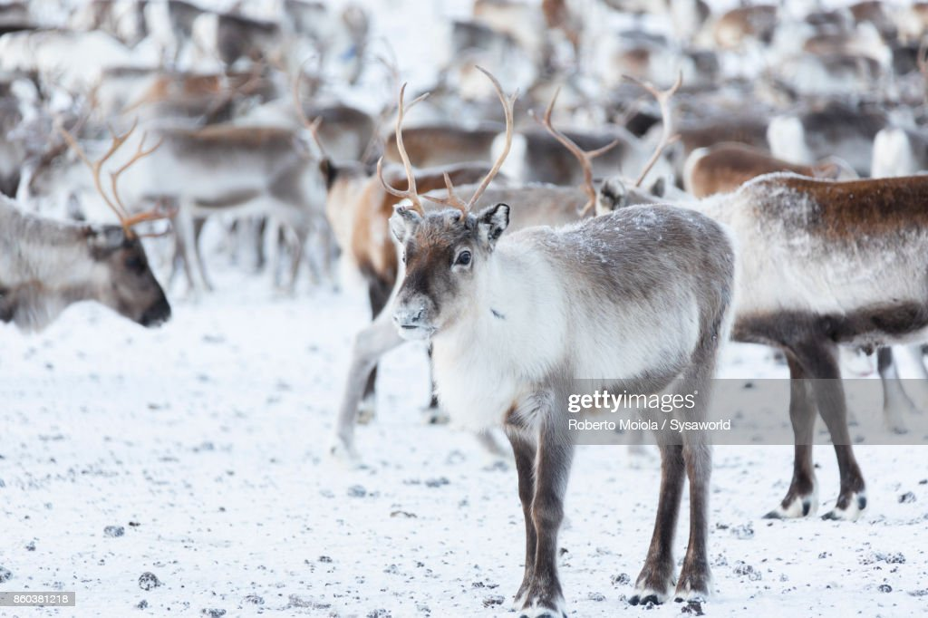 Reindeer, Abisko National Park, Sweden : Stock Photo