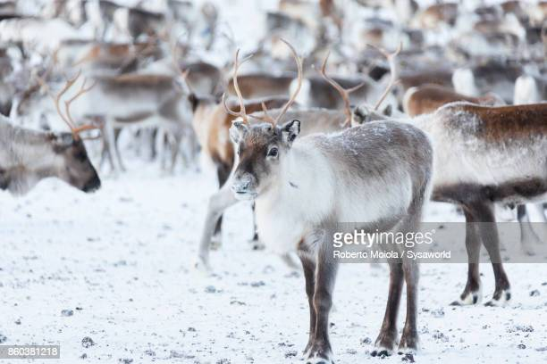 Reindeer, Abisko National Park, Sweden