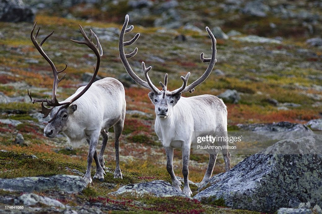 Reindeer Stock Photos and Pictures Getty Images