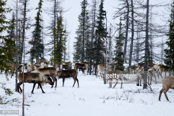 Reindeer at pasture in forest