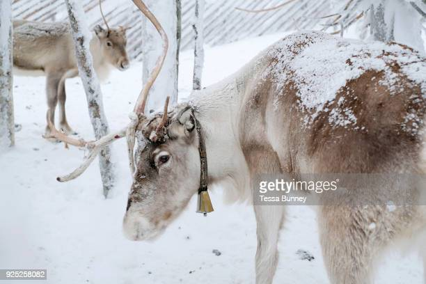 Reindeer at Samiland Levi Finnish Lapland on 11th February 2018 Samiland is a cultural museum celebrating the culture history and present day of the...