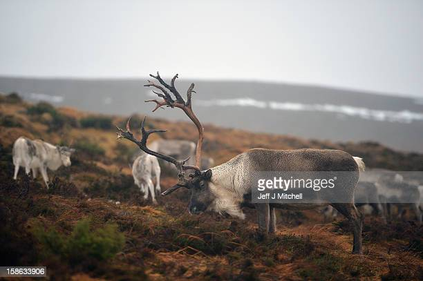 Reindeer at the Cairgorm Herd are fed on December 22 2012 in Aviemore Scotland Reindeer were introduced to Scotland in 1952 by Swedish Sami reindeer...