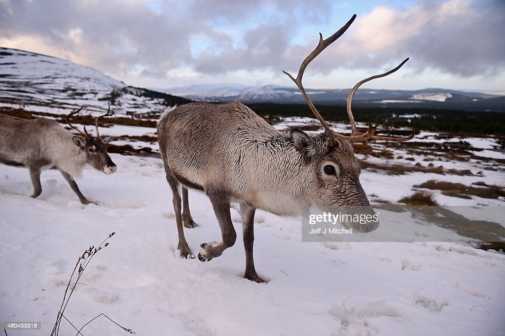 Reindeer at the Cairgorm Herd wait to be fed on December 14, 2014 in The Cairngorms National Park, Scotland. Reindeer were introduced to Scotland in 1952 by Swedish Sami reindeer herder, Mikel Utsi. Starting with just a few reindeer, the herd has now grown in numbers over the years and is currently at about 130 by controlling the breeding. The herd rages on 2,500 hectares of hill ground between 450 and 1,309 meters and stay above the tree line all year round regardless of the weather conditions.