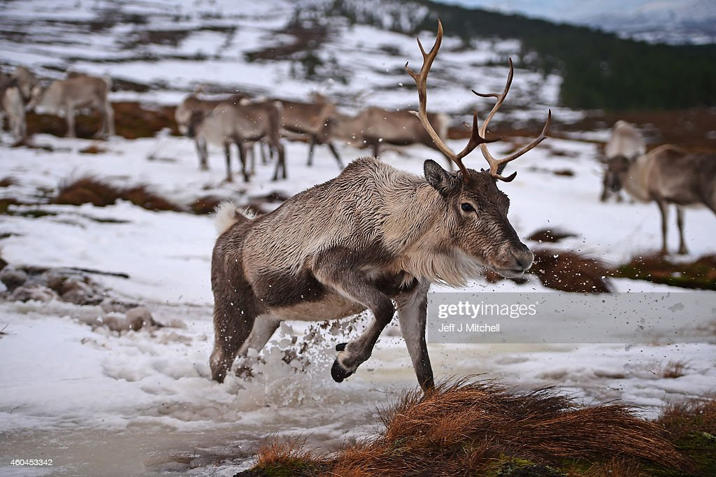 Britain's Only Reindeer Herd Prepare For Christmas In The Cairngorms National Park : News Photo