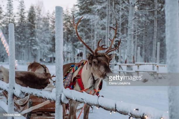 reindeer at the santa claus village in lapland - rentier stock-fotos und bilder