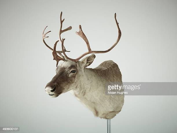 Reindeer bust taxidermy