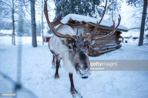a reindeer covered in snow approaches the camera - renna foto e immagini stock