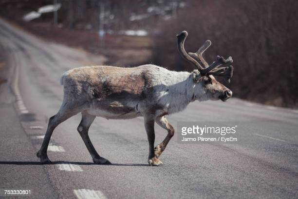 reindeer crossing road - rentier stock-fotos und bilder