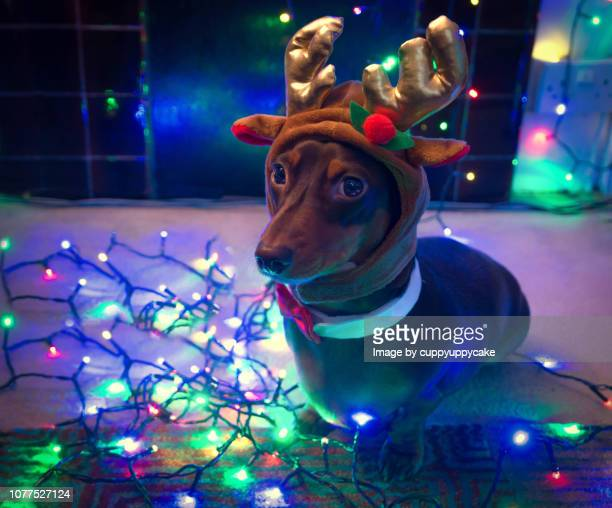 reindeer dog - dachshund holiday stock pictures, royalty-free photos & images