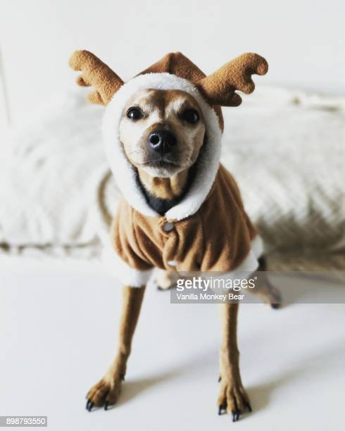 reindeer dog - christmas dog stock pictures, royalty-free photos & images
