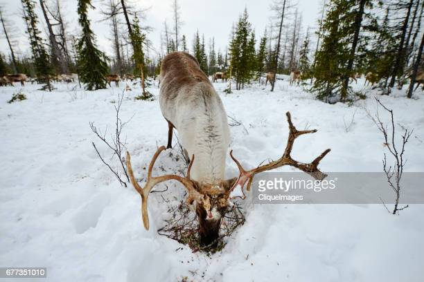 reindeer eating in forest - cliqueimages stock pictures, royalty-free photos & images
