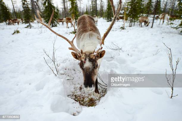 reindeer finding food in forest - cliqueimages stock pictures, royalty-free photos & images