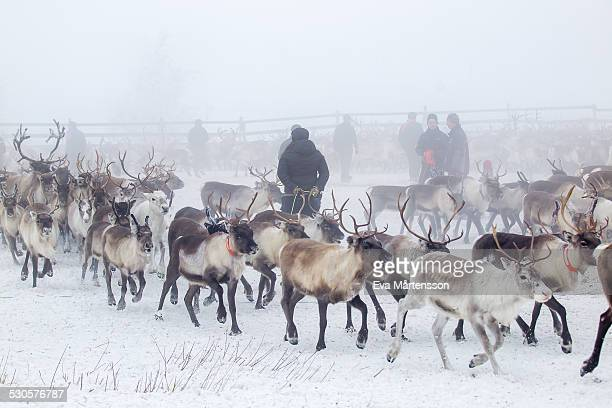 reindeer gathering - swedish lapland stock-fotos und bilder