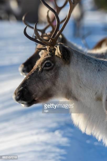 Rendieren grazen in de sneeuw in de winter in Noord-Noorwegen