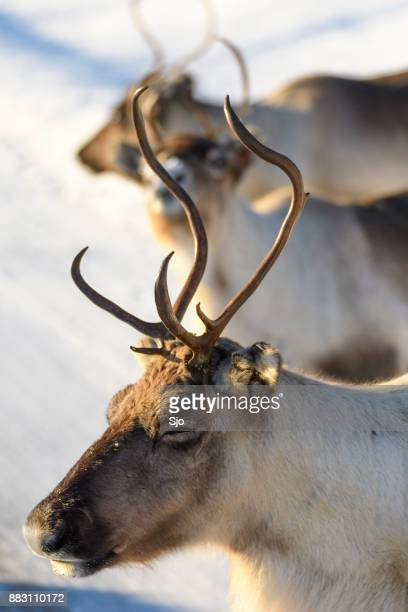 reindeer grazing in the snow during winter in northern norway - rudolph la renna dal naso rosso foto e immagini stock