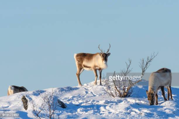 Reindeer grazing in the snow during winter in Northern Norway