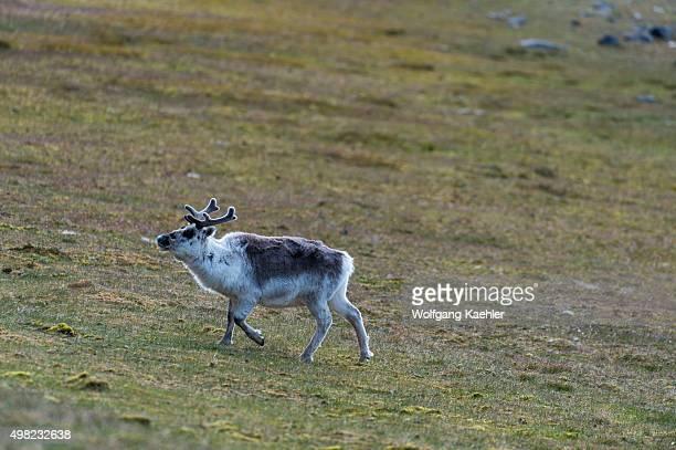 Reindeer grazing in the tundra at Kapp Lee on the Island of Edgeoya Svalbard Norway