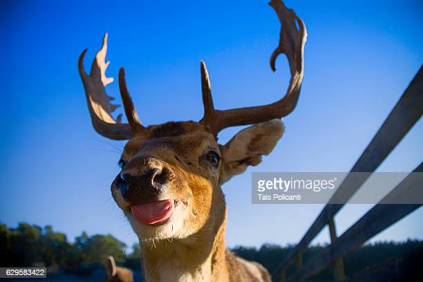 reindeer greeting with its tongue out - bayern, germany, europe - rentier stock-fotos und bilder