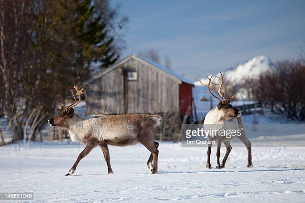 Reindeer herd in the snow in arctic landscape at Kvalysletta Kvaloya Island Tromso in Arctic Circle Northern Norway