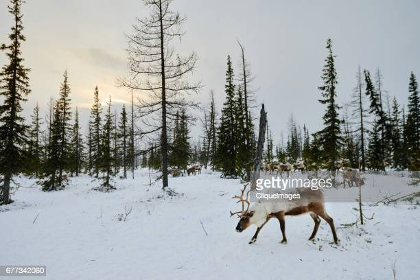 reindeer herd in the wood - cliqueimages fotografías e imágenes de stock