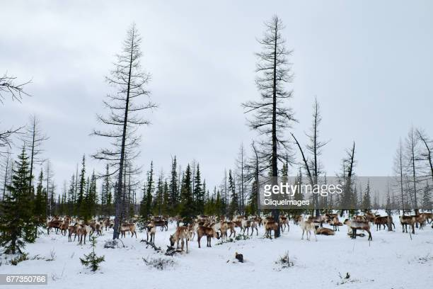 reindeer herd on pasture - cliqueimages stock pictures, royalty-free photos & images