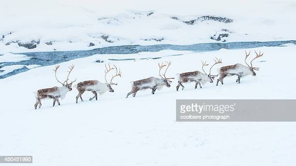 reindeer herd walking through snow field - rentier stock-fotos und bilder