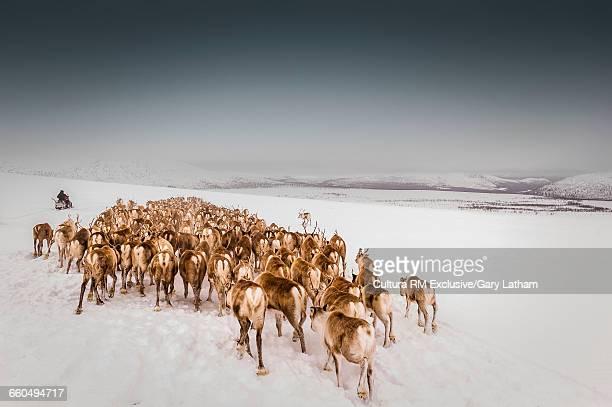 Reindeer herder herding reindeer on snow covered landscape, Lapland, Sweden