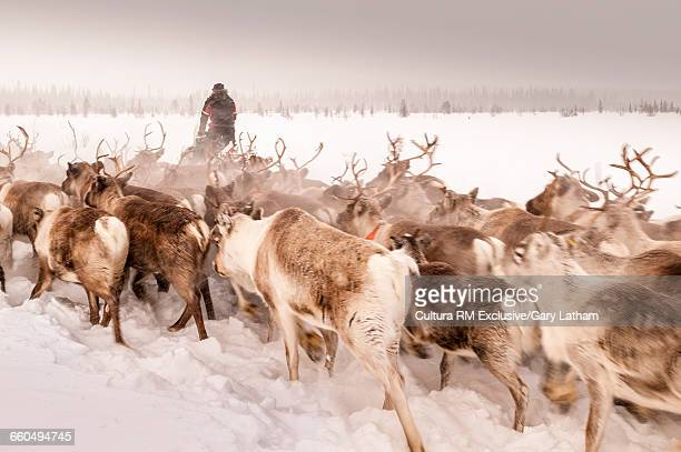 reindeer herder herding reindeer on snow covered landscape, lapland, sweden - swedish lapland stock-fotos und bilder