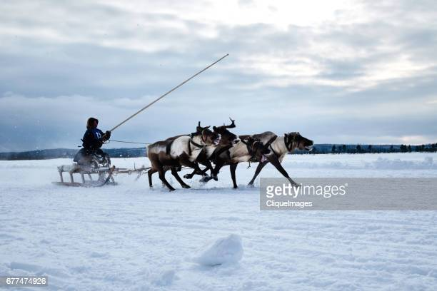 reindeer herder on sledge - cliqueimages stock pictures, royalty-free photos & images