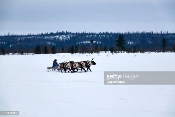 reindeer herder riding in sledge - cliqueimages stock pictures, royalty-free photos & images