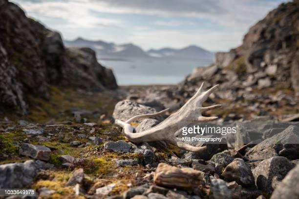 reindeer horn - スヴァールバル諸島 ストックフォトと画像