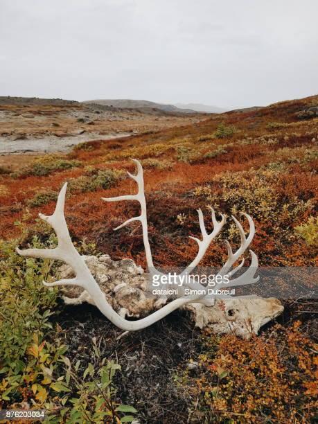 Reindeer hunting near Kangerlussuaq